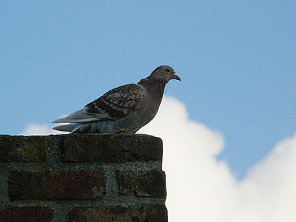pigeon-resting-2.jpg